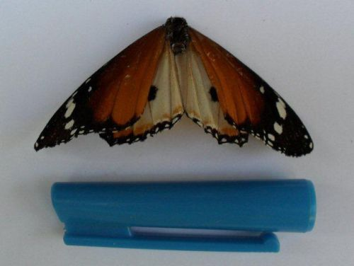 Danainae butterfly
