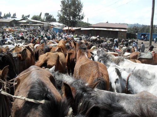 parked horses, mules and donkeys