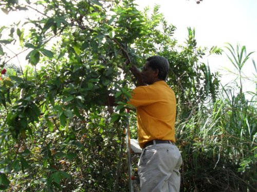 Kate's husband, Asenake, picking guavas