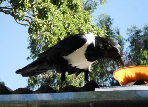 a pied crow steals Tewodros's breakfast