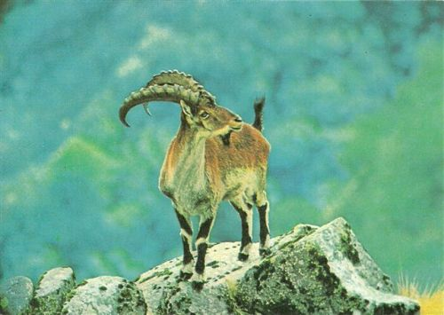 Walia ibex (an old postcard)