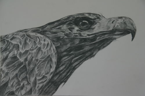 Wedge-tailed Eagle (drawing)