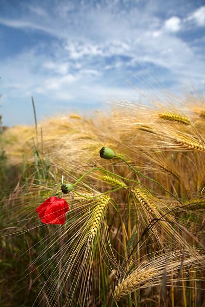 Poppy and Barley