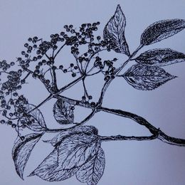 Elderberries - pen and ink