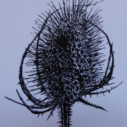 Teasel - dip pen and ink