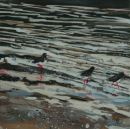 Oyster catchers out late