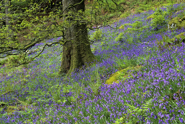 Bluebells at White Moss Common between Grasmere and Rydal Water