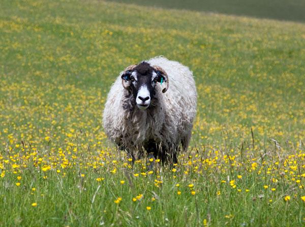 Sheep in the hay meadows near Malham