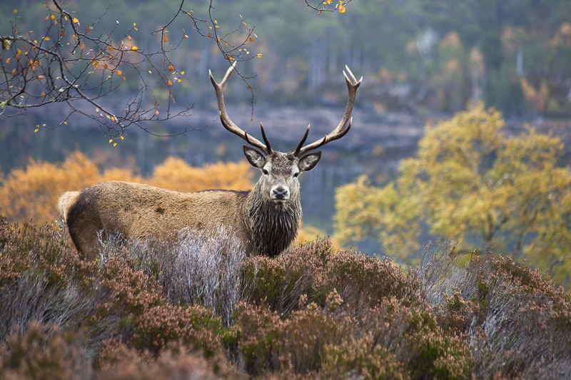 Red deer stag in Glen Affric