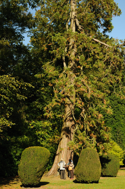 Fir tree at Burton Agnes Hall