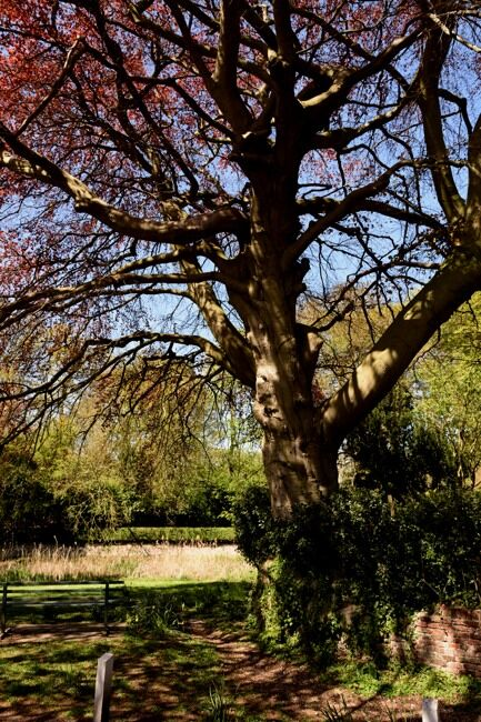 Old beech tree in spring