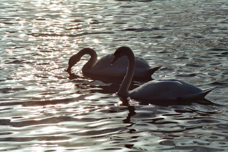 Swans on Hornsea Mere