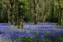 Pamphill blue