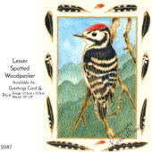 Lesser Spotted Woodpecker from a painting by Janet Wheeler