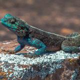 Agamus Lizard