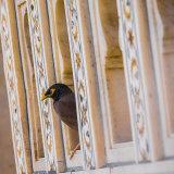 Mynah Bird: Agra Fort