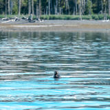 Sea Otter: Glacier Bay