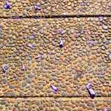 Petals of Jacaranda