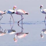 Salt Flats: Flamingos