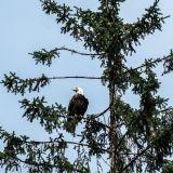Bald Eagle: Kake