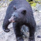 Black Bear: Evening at Kake