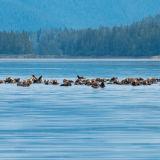 Raft of Sea Otters: Tebenkof Bay