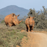 White Rhinoceros and Young