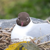 Black-headed Gull, Farne Islands