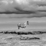 Shetland Pony:Foula