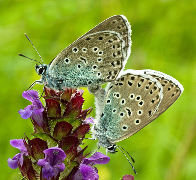 Paired Large Blues