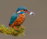 Kingfisher & Catch