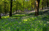 Bluebells at RSPB Dinas Reserve