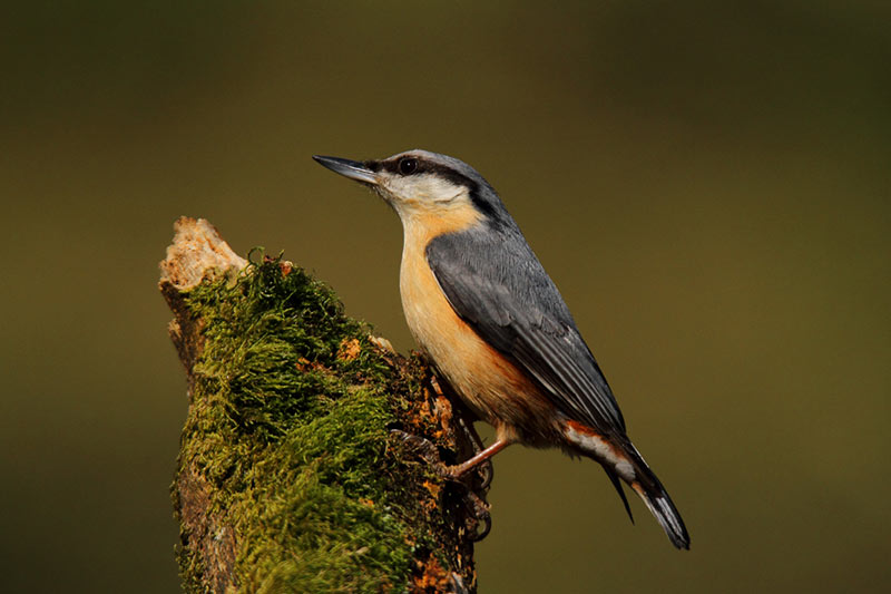 Nuthatch At Speech House #4
