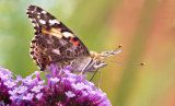 Painted Lady On Verbena Bonariensis