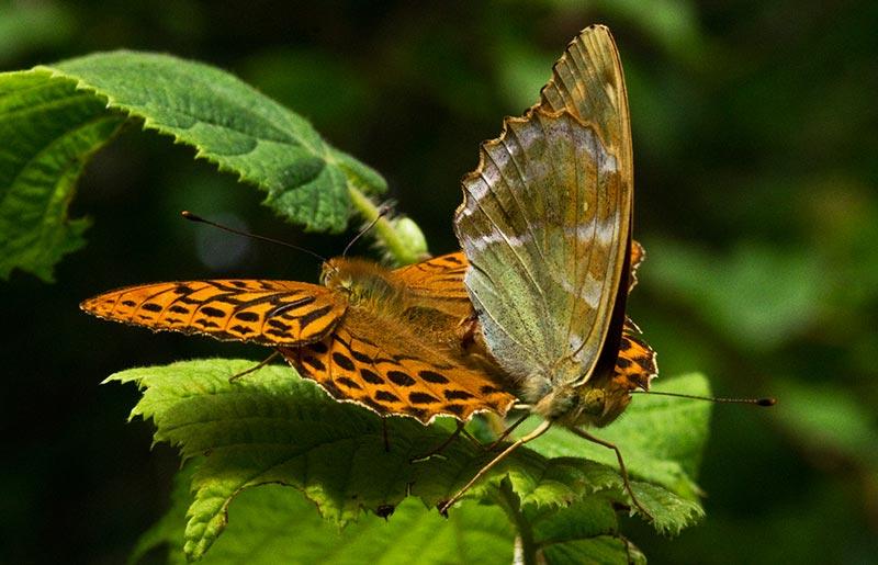 Regeneration Of Butterflies