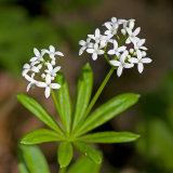 Sweet Woodruff - Galium odoratum