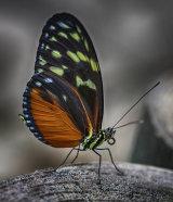 Tiger Wing