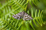 Latticed Heath Moth (Chiasmia clathrata)