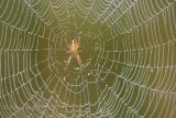 spider and web, spring dew