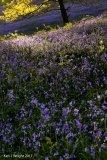 Grassmere bluebells