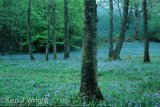 bluebells in Rydel
