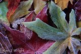 frost on autumn Maple leaves