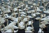 thats a lotta swans!