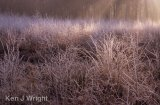 morning light on frosted birch saplings