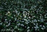 morning light on wild garlic