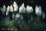 pampas grasses-2