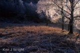 sunlight on frosted birch