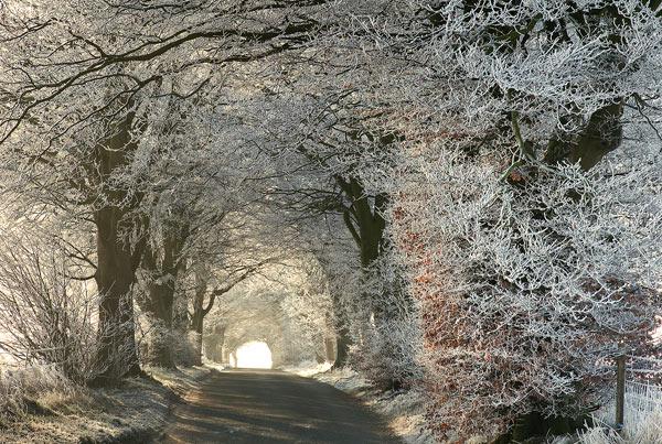 Frosty Beech Trees