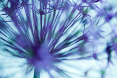 Allium Christophii Abstract