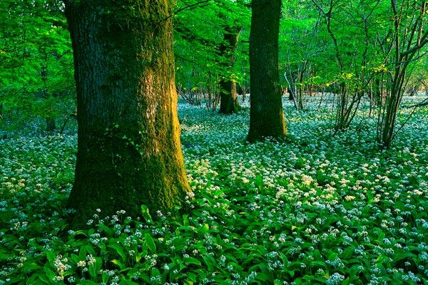 Alliums in Evening Light